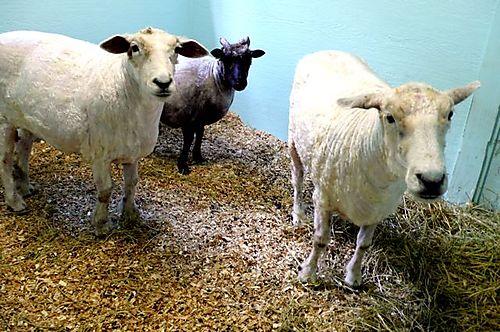 Sheepafter