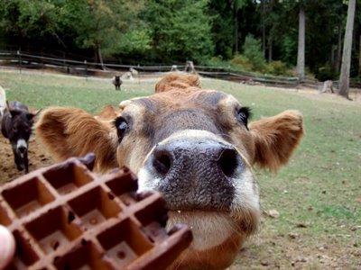 Waffle_cow